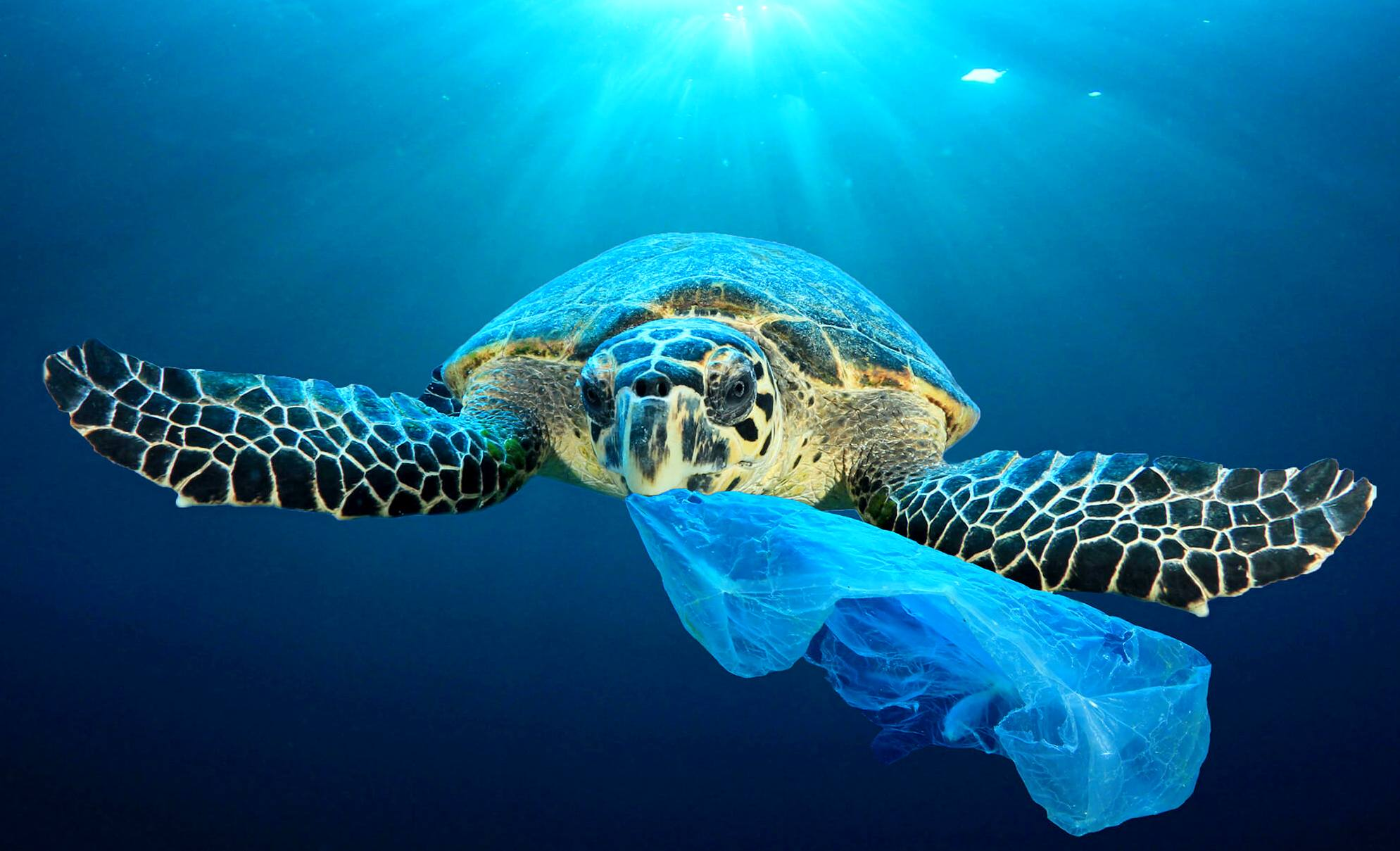 Turtle with a single use plastic bag, that resembles squid